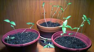 Not Enough Light For Plants How Does Color Spectrum Affect Growing Weed Grow Weed Easy