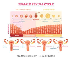 Female Menstrual Cycle Stock Vectors Images Vector Art