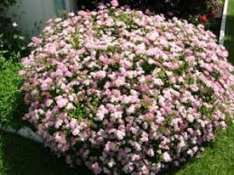 Spring Blooming Shrubs In My Garden In North Carolina  Heart Of A Shrub With Pink Flowers