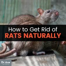 how to get rid of rats dr axe