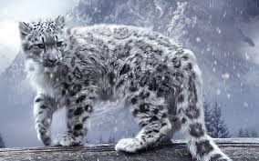 winter animal nature backgrounds. Unique Nature Leopard Snow Leopards Animals Nature Snow Winter Wallpapers HD   Desktop And Mobile Backgrounds With Animal Nature