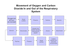 Respiratory System Flow Chart Respiratory System Your Lungs Function Of The Respiratory