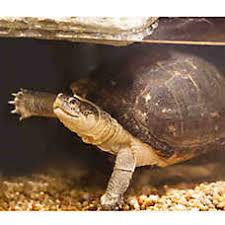 petsmart reptiles for sale. Brilliant Petsmart African Sideneck Turtle To Petsmart Reptiles For Sale E