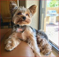 cute yorkie haircuts 177203 yorkie haircuts male awesome cute yorkie yorkies dogs best