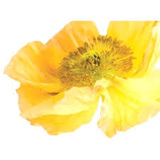 poppy wall decal yellow poppy garden flower vinyl decal wall a liked on featuring poppy wall poppy wall decal