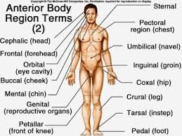 Anterior Body Landmarks Biology Core Curriculum 024 With