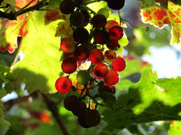 """Résultat de recherche d'images pour """"raisin de vignoble"""""""