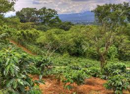 I am going to costa rica in september, would like to see coffee growing and processed, what is the best place to go. Small Coffee Plantation On A Hillside In Costa Rica Stock Photo Picture And Royalty Free Image Image 16127084