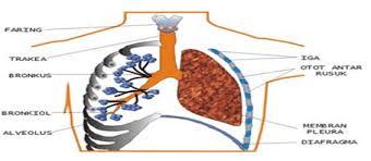Jelaskan proses pernafasan perut : Pernapasan Dada Dan Perut Pengertian Sisitem Mekanismenya