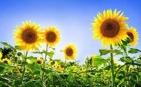 Best 29+ Sunflower HD Desktop Wallpaper ...