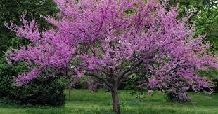 Erguvan (Cercis siliquastrum) | Konuşan Ağaçlar-İbb Park Bahçe ve Yeşil  Alanlar Daire Başkanlığı