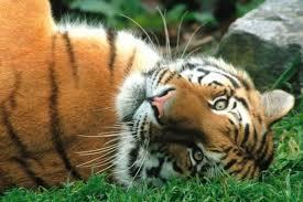 Амурский тигр редкое животное занесенное в Красную книгу России  amur