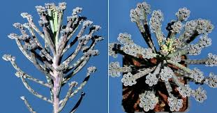 how to grow and care for a chandelier plant kalanchoe delagoensis world of succulents