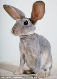 rabbit without fur.  Fur The Miniature Bunny Has Settled Into The Family Who Have Become Completely  Taken With Him Inside Rabbit Without Fur O