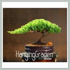 hot sale50 pcslot juniper bonsai tree potted flowers office bonsai purify the air absorb harmful gases9b374j in bonsai from home garden on bonsai tree for office