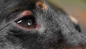 dog eye allergies symptoms causes and