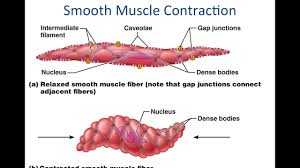 This model applies to skeletal, smooth and cardiac muscle. Smooth Muscle Physiology Youtube