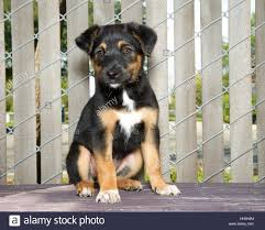 german shepherd mix puppies. Unique German Portrait Of A German Shepherd Mix Puppy Sitting On Wood Deck Next To  Fence To Mix Puppies D