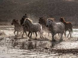 wild horses running through water. Fine Through Stock Photo  White And Brown Wild Horses Running In The Water Intended Wild Horses Running Through Water R
