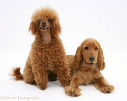 Pictures of adult toy cocker spaniel