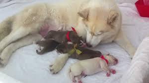 siberian husky newborn puppies. Unique Puppies Throughout Siberian Husky Newborn Puppies YouTube