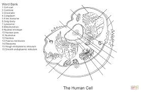 Small Picture Human Cell Worksheet coloring page Free Printable Coloring Pages