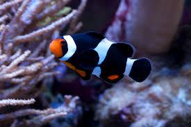 black and orange clown fish. Interesting Clown A Black Photon Clownfish To And Orange Clown Fish E