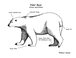 similiar black bear polar bear venn diagram keywords exploring nature educational resource error