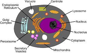animal cell vacuole diagram. Modren Diagram A Typical Animal Cell Model Diagram Project Parts Structure  Labeled Coloring And Plant Organelles Cake With Vacuole