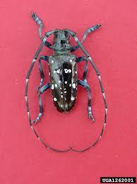 Invasive Species Asian Longhorned Beetle