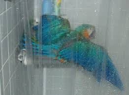 parrot shower curtain these days when takes a shower i put her in the shower stall parrot shower curtain