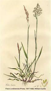 Online Virtual Flora of Wisconsin - Holcus lanatus