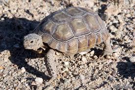 Mohave Desert Tortoise Gopherus Agassizii