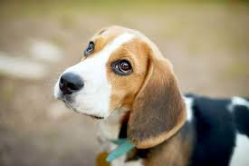 Melatonin For Dogs Learn About The Uses Benefits And Dosages