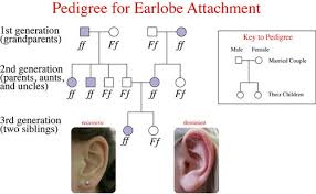 Pedigree Chart For Free Or Attached Earlobes Mendelian Inheritance Ck 12 Foundation
