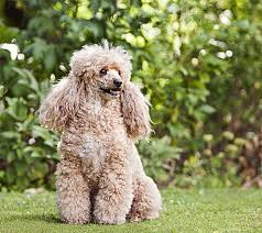 poodles are impressive dogs as the many best in show winners from this dog breed can attest behind the blue ribbons impressive hairdos