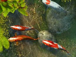 small screenshot 1 office fish. jumping koi fish love rocks small screenshot 1 office