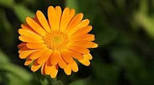 Marigold Flower – Meaning, Symbolism and Colors