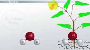 Capillary Action In Plants Definition Examples