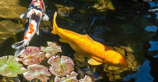 best easiest fish varieties to stock a backyard pond with