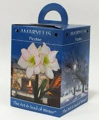 amaryllis picotee gift box