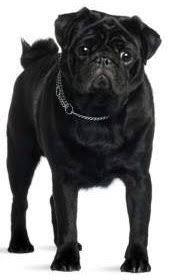 black pug puppies.  Black Black Pugs Throughout Pug Puppies P