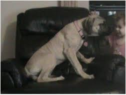 English Mastiff Growth Chart Height Growth Chart Raising An English Mastiff Puppy