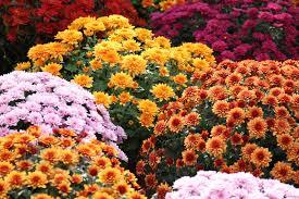 Φροντίδα του Χρυσάνθεμου - E-gardenstore.gr