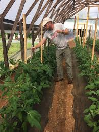 tomatoes trellised with the florida weave method at lomax research and education farm