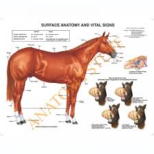 Equine Surface Anatomy Laminated Chart Poster