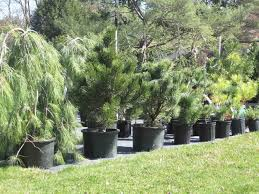 Small Picture Plant picks Easy evergreen shrubs for Iowa gardens Red Fern