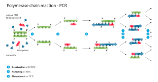 Polymerase Chain Reaction Wikipedia
