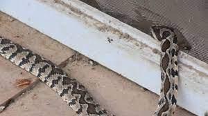 Demikian penjelasan yang bisa kami sampaikan mengenai bagaimana cara mencegah ular masuk rumah yang bisa anda terapkan. Panas Melampau Undang Ular Lapar Ke Dalam Rumah Ini 10 Tips Untuk Rumah Anda Kekal Selamat