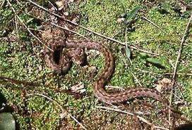Степная гадюка vipera ursinii гадюка степная окраска длина  Степная гадюка vipera ursinii